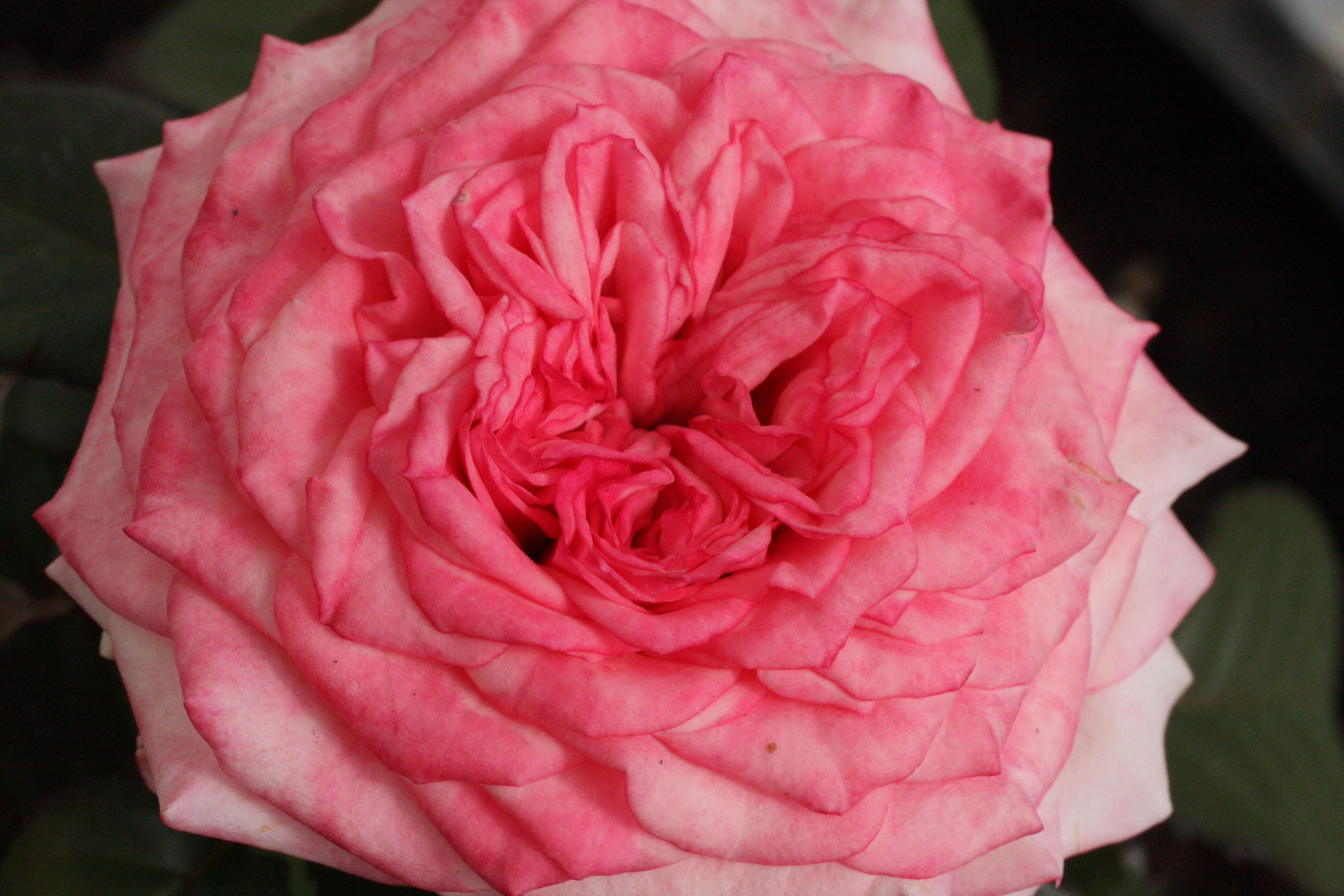 rosa ros pink rose