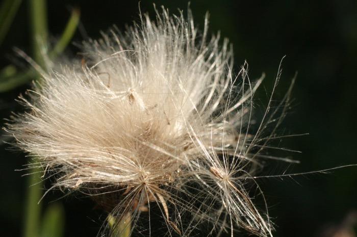 blomma höst fröer