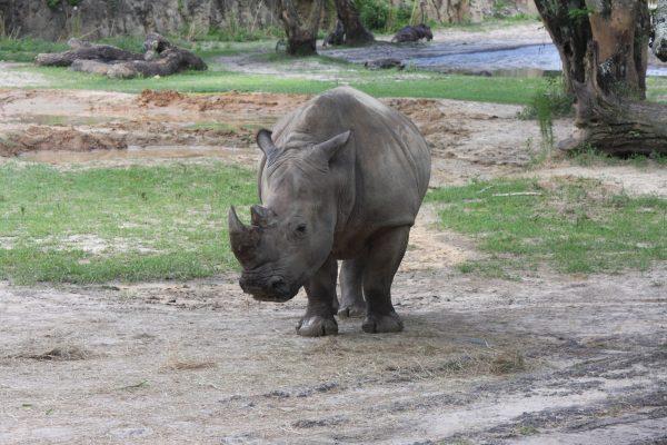noshörning