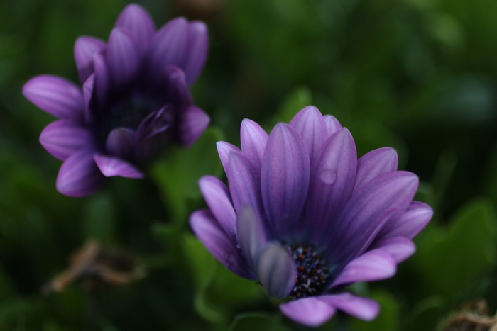 Margerite african daisy
